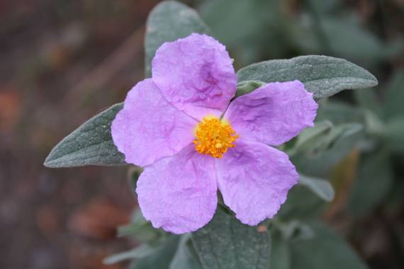 Sararp14 en Hamelin: Flora  (Alcaucín), Cistus albidus