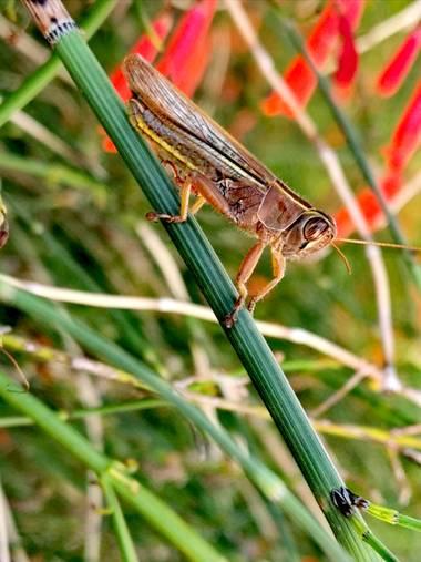 Rincon.ache en Hamelin: Fauna  (Gandia), Cantante del jardín #flora#fauna#bichos#insectos#cosaspequeñas #🦗