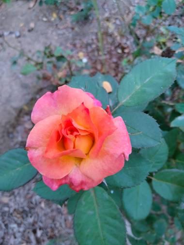 Solerantonio2 en Hamelin: Flora  (Almería), Rosa chinensis, Flor en el parque