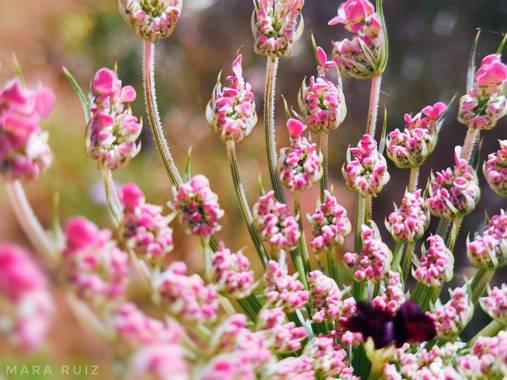 Mararuizasensio en Hamelin: Flora  (Ojén), #macro #primavera #spring #flores #flowers #campo #flora #flora21 #huaweiphotography