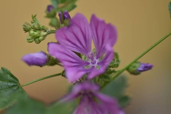 Belenhernandezg en Hamelin: Flora  (Soto del Real), #primavera #flora21