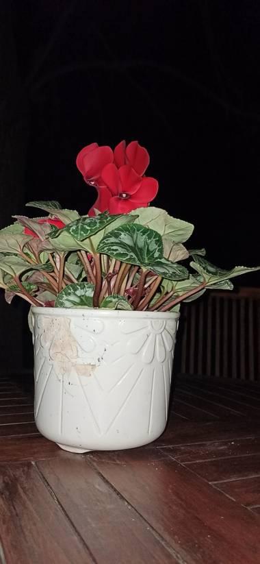 jairoponce1985 en Hamelin: Flora  (Cassà de la Selva), Cyclamen persicum, Flor