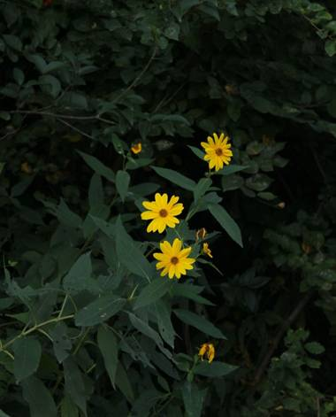 cimadevilla.amaia en Hamelin: Flora, #margaritasamarillas