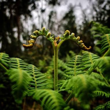 Cbayonl47 en Hamelin: Flora  (Ortigueira), Pteridium aquilinum, Desarrollo de una hoja de helecho