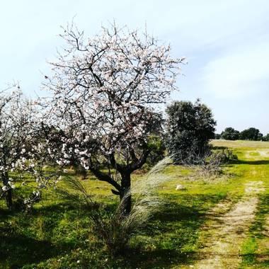 Olguela en Hamelin: Flora  (Sevilla la Nueva), Prunus dulcis, #almendroenflor#tree#flowersbeauty