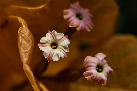 ralphlagarillo en Hamelin: Flora  (Vélez-Málaga), Flor de Buganvilla