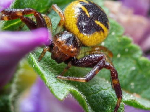 Tomasbejar en Hamelin: Fauna  (Altea), #araña#qrañacangrejo#arañqnapoleon