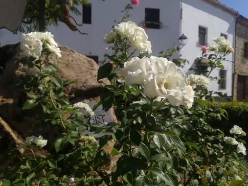 Hugo1865079 en Hamelin: Flora  (Baeza), Flor ubicada junto a una estatua adornando , en la emblemática ciudad de Baeza