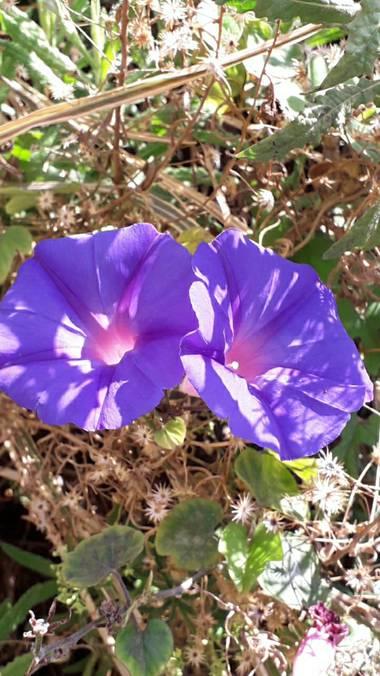 Solerantonio2 en Hamelin: Flora  (Níjar), Flores en cala de san pedro