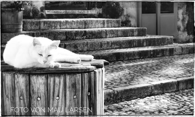 Mau Larsen en Hamelin: Fauna  (Dénia), Nombre: Gato Común Europeo, Gato Doméstico Romano, Celtic Shorthair Origen: Europa Características físicas: Musculos...