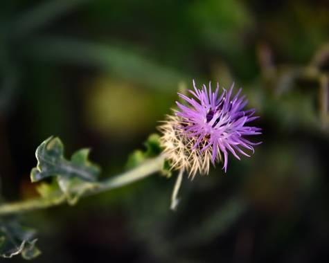 ralphlagarillo en Hamelin: Flora  (Cártama), Centaurea aspera, #flora21