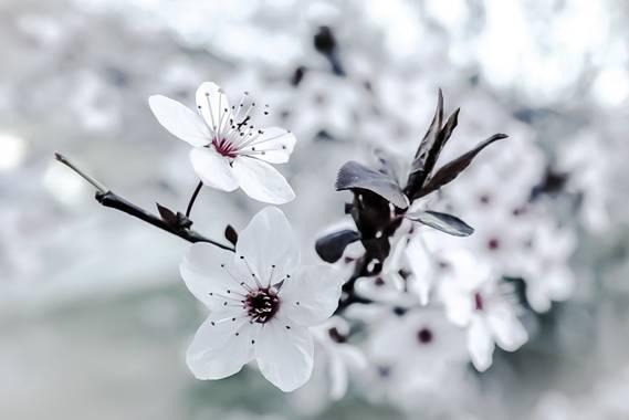Cristobal.cadenas en Hamelin: Flora  (Tavertet), Prunus cerasifera, #flora21  #naturaleza20