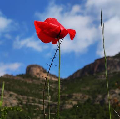 aidalzira en Hamelin: Flora  (Cortes de Pallás), Papaver rhoeas, Esta flor es la que más me gusta tan simple pero tan bonita con su color rojo intenso 😍 #...