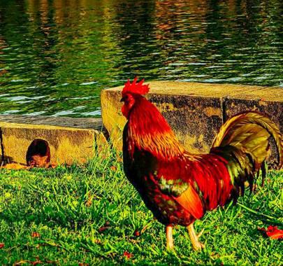 bernard1402  en Hamelin: Fauna  (Cárdenas), Gallo doméstico o gallo rojo. Ave exótica con dimorfismo sexual muy evidente. Posee un plumaje muy vivo y brill...