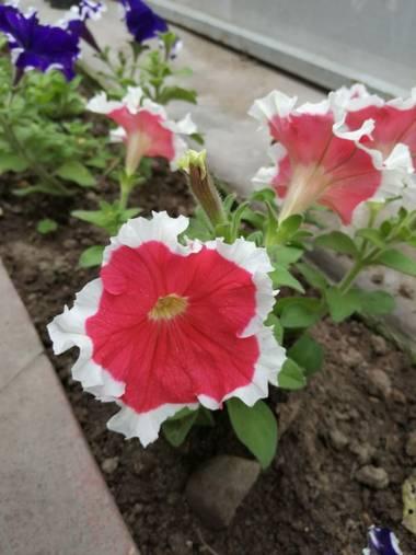 Angelmolinaherrera en Hamelin: Flora  (Béjar), Variedades de hermosas flores