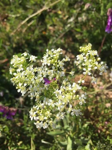 Marisol🍀 en Hamelin: Flora, Lepidium draba, #primavera