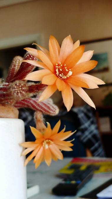 Raquelitacaceres1969 en Hamelin: Flora  (Madrid), Echinopsis chamaecereus, Sencillamente bella..❣️❣️❣️