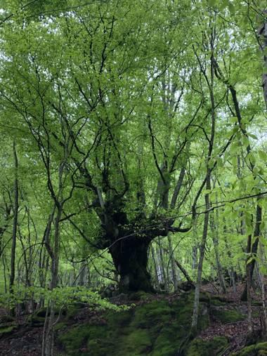 Naturalezadebarrio en Hamelin: Flora  (Bausen), Haya milenaria#haya#flora21#naturalezadebarrio@naturalezadebarrio#valldearan