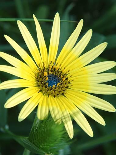 Capturolavida en Hamelin: Flora  (Moguer), Arctotheca calendula, #flora21 #nature
