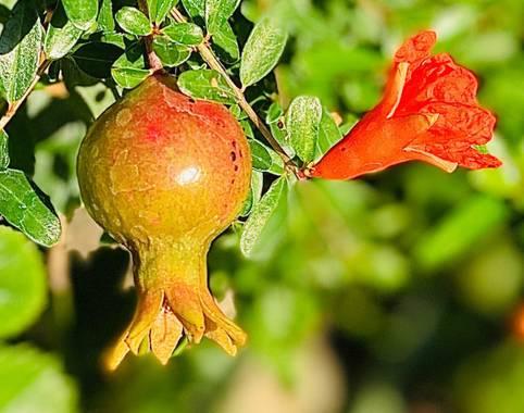 su en Hamelin: Flora  (Gelves), Punica granatum, Flor y fruta del granado de jardín
