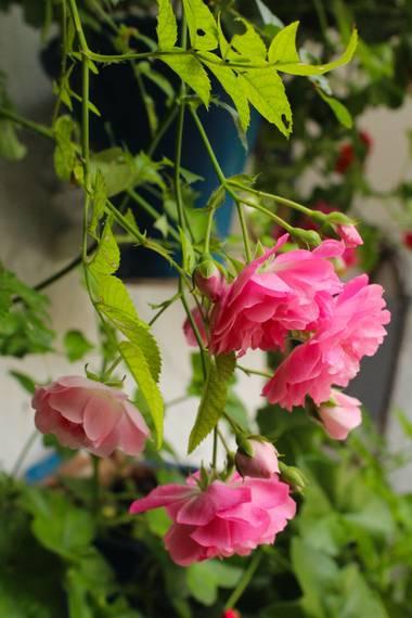 cruzyus en Hamelin: Flora  (Córdoba), #flora21