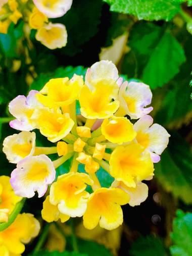 su en Hamelin: Flora  (Gelves), No suele sobrepasar los 2 m de altura. Hojas opuestas, ovales, dentadas, ásperas. Inflorescencia en corimbos. Existen numer...