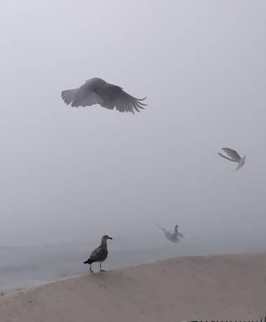 Mcjarama en Hamelin: Fauna  (Benidorm), Palomas# gaviotas# niebla#