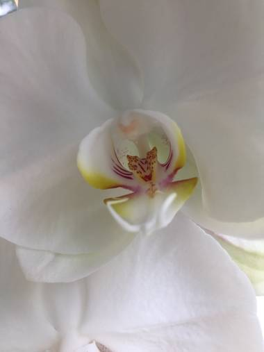 Marisol🍀 en Hamelin: Flora, Phalaenopsis spp., #orquidea #flora21