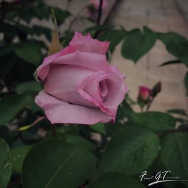 Frankgt48 en Hamelin: Flora  (Paracuellos de Jarama), Rosa chinensis, #flora21