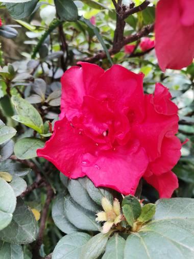 Ani en Hamelin: Flora  (Cali), La Biflora es una planta de exterior, el riego se hace cada 5 evitando encharcamiento y manteniendo el sustrato húmedo, se r...