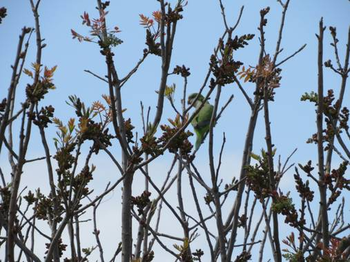 Solerantonio2 en Hamelin: Fauna  (Almería), Cotorra observando parque andarax