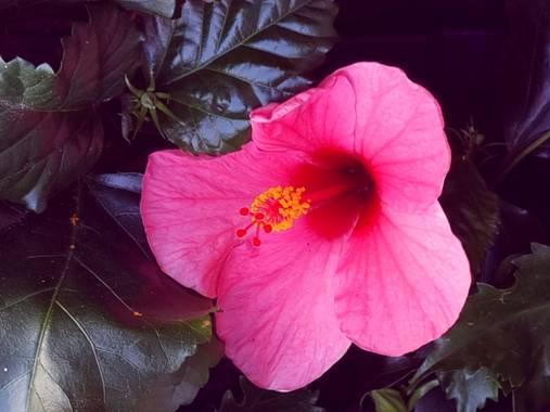 Jonathanmartinbedia0007 en Hamelin: Flora, Hibiscus rosa-sinensis, 📸@