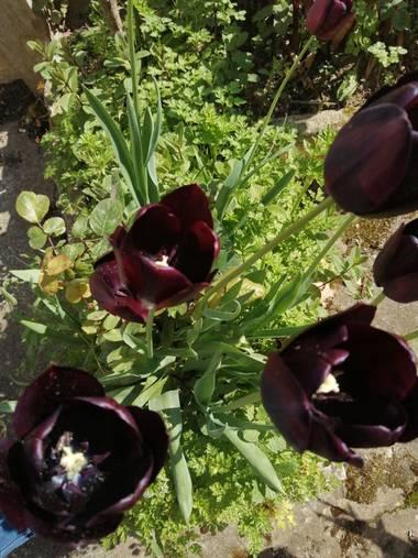 Susandresro en Hamelin: Flora  (Mondoñedo), Tulipa gesneriana, Tulipan. MONDOÑEDO. LUGO