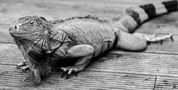 Acorazado3000 en Hamelin: Fauna  (Benalmádena), Iguana- saurópsido       #fotografiacarloscalvo #saurópsidos #iguana #reptil #reptiles #mascota #escamas #i...