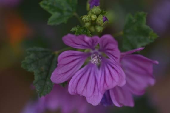 Belenhernandezg en Hamelin: Flora  (Soto del Real), Malva sylvestris, #primavera #flora21