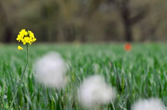 Azulmarino  en Hamelin: Flora  (Manlleu), La amarilla #flora #frommypointofview