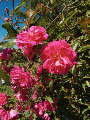 Alquimia Natural en Hamelin: Flora  (Marina de Cudeyo), Rosa gallica, Amor 💕😍☀️