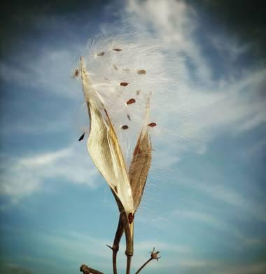 Berenicelujan en Hamelin: Flora  (La Laguna), #semillas #flora21