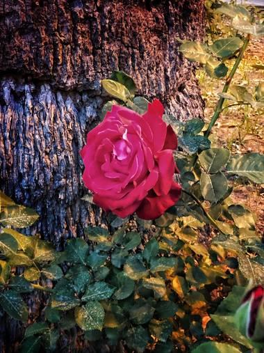 gerogoes en Hamelin: Flora  (Jerez de la Frontera), Rosa chinensis, Caminar por un jardin, donde esta roza parece que estállorando.