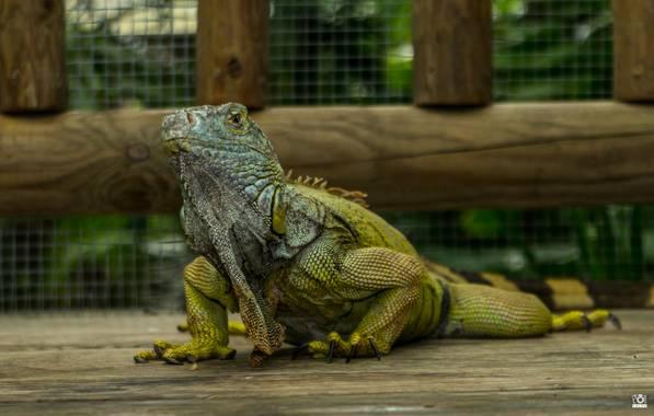 Acorazado3000 en Hamelin: Fauna  (Benalmádena), Iguana en pose        #fotografiacarloscalvo #saurópsidos #iguana #reptil #reptiles #mascota #escamas #igua...