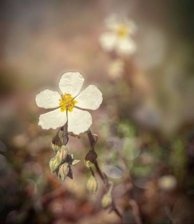 rqsalcedo en Hamelin: Flora  (Santa María de la Alameda), Helianthemum apenninum, #flora21