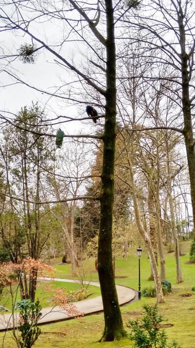 Jimenezchave en Hamelin: Fauna  (Donostia), Fotografías de pavo reales (Pavo cristatus) en el Parque de Cristina Enea en San Sebastián. Sorprendentes los p...