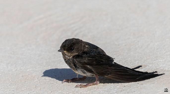 Acorazado3000 en Hamelin: Fauna  (Priego de Córdoba), Delichon urbicum (Linnaeus, 1758), ¡¡Chapuzón¡¡¡         #fotografiacarloscalvo #polluelo #golondrina...