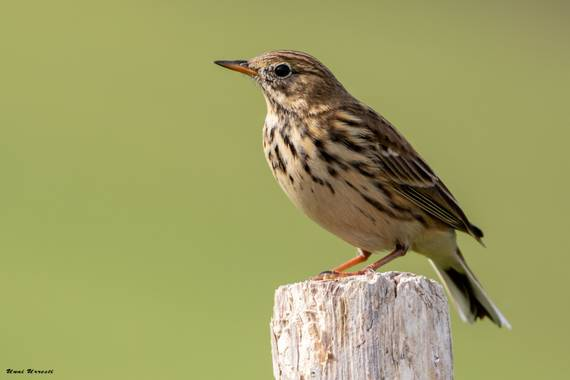Unai Urresti en Hamelin: Fauna  (Trucios), Anthus pratensis (Linnaeus, 1758), Bisbita pratense.  #aves21 #bisbita  #fauna