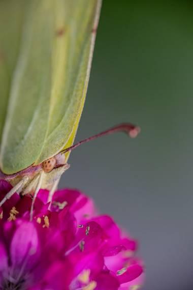 Xabier González en Hamelin: Fauna  (Mos), Nunca va a dejar de sorprenderme la naturaleza, hoy he tenido la suerte de toparme con esta mariposa, que si no l...