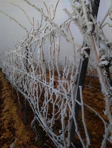 Martasv93 en Hamelin: Flora  (San Esteban de Gormaz), #flora #vid #viñedo #invierno #vine #vineyard #winter #invierno20
