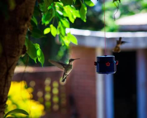 lucass.dosso en Hamelin: Fauna  (Eldorado), Colibrí Gargantilla #aves21