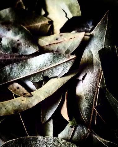 Navarroarevalomariateresa en Hamelin: Flora  (Viesca), Elaeagnus angustifolia, Las hojas de laurel son conocidas como un condimento usado en la cocina para...