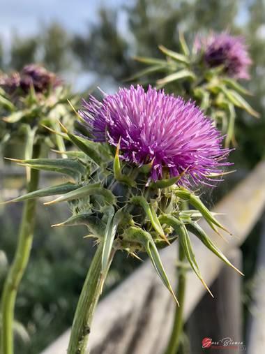 J.blanco.l en Hamelin: Flora  (Chipiona), Silybum marianum, #flora21 #chipiona