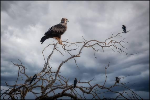 Salvapf en Hamelin: Fauna  (els Plans de Sió), Aquila chrysaetos (Linnaeus, 1758), #fauna #wildlife